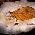 Herbst – Fliege auf Blatt auf Pilz – Metzerlen SO