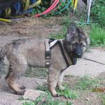Dieser Kleine war von Anfang an zusammen mit den älteren Hunden in einer Gruppe...