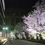 法学部中庭 :時計台の裏のスペースで、法学部中庭と呼ばれています。春は写真のように桜が咲いていてとても綺麗です。あまり広くはないですが、ひっそりとしていて落ち着いた雰囲気を味わえる休憩スペースです。夜には外灯が絶妙な加減で桜を照らし、神秘的な雰囲気を作っています。