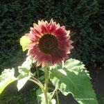 Sonnenblume Garten 1 2017
