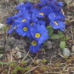 Primel/Gartenaufnahme/Blumen&Pflanzen