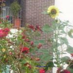 Rosen und Sonnenblume/Aufnahme unterwegs