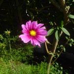 Cosmea/Aufnahme Garten