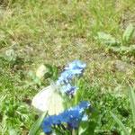 Kleiner Falter an Blume/Aufnahme im Garten
