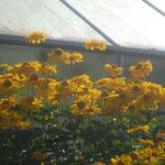 Sonnenhut/Aufnahme unterwegs/Blumen & Pflanzen