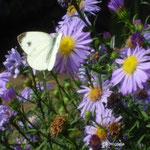 KohlweisslingHerbstaster/Aufnahme im Garten