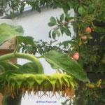 Riesensonnenblume und Äpfel/Aufnahme unterwegs