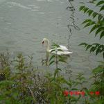 Aufnahme am Rhein/Schwan/Extra