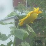 Grosse Sonnenblume /Aufnahme unterwegs