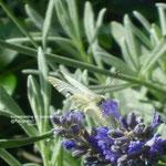 Schmetterling Lavendel/Aufnahme Garten