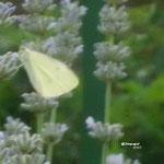 Zitronenfalter/Aufnahme Garten
