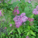 Fetthenne/Aufnahme Garten/Blumen & Pflanzen
