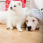 Щенок Японский шпиц и Аргентинский Дог,  купить щенка из питомника Японских шпицев Ноктюрн Догс