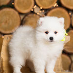 Щенок Японский шпиц,  купить щенка из питомника Японских шпицев Ноктюрн Догс www.nocturne-dogs.com