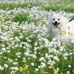 Японский шпиц,  купить щенка из питомника Японских шпицев Ноктюрн Догс