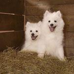 Щенок Японский шпиц,  купить щенка из питомника Японских шпицев Ноктюрн Догс