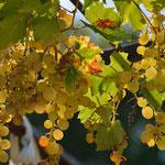 la pergola viticole