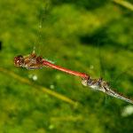 Gemeine Heidelibelle (Sympetrum vulgatum) Tandem bei der Eiablage