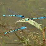 Die Männchen halten sich überwiegend am Gewässer auf
