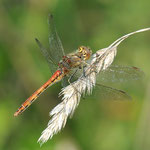 Gemeine Heidelibelle (Sympetrum vulgatum) Weibchen in roter Variation