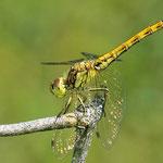 Gemeine Heidelibelle (Sympetrum vulgatum) Junges Weibchen