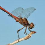 Gemeine Heidelibelle (Sympetrum vulgatum) Männchen