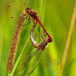 Gemeine Heidelibelle (Sympetrum vulgatum) Paarungsrad