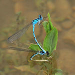 Eiablage - Das Weibchen kann bis zu 90 Minuten vollständig unter Wasser bleiben.