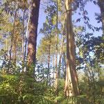 Im Vordergrund ein Eukalyptusbaum. Er wächst schneller als die wertvollere Pinie im Hintergrund, nimmt ihr aber das Wasser. Schneller Holz, schneller Geld. Leider wird er viel zu häufig angepflanzt.
