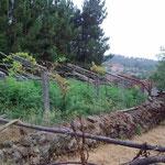 Als die Eltern noch lebten wurde auf diesem verwilderten Grundstück Wein angebaut.