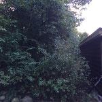 Baumfällung (vorher)