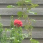 Rose im Rondell