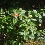 Buschrose duftend