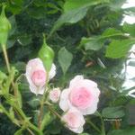 Rosafarbene Rose 1