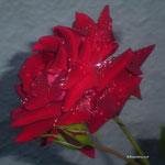 Rote Stammrose