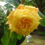Rose Westerland,duftend