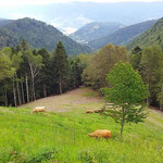 Les vaches font désormais partie du paysage du Gazon vert