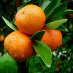 Orangenernte in Kalabrien
