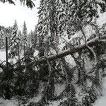 Erneuter Schneebruch beim Waldbad Höhe Kiosk