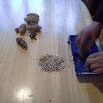Samen ausschütteln Tannenzapfen Gemeindewald