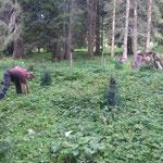 Jungbäume Engerlewald ausmähen, Unkraut entfernen