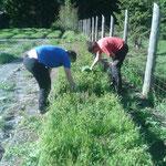 Aufforstungsbescheide erfüllen, Fichten im Pflanzgarten holen
