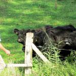 Mit Äpfeln kann man die Rinder locken