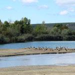 Nilgänse am Rhein – Blick nach Rheinhessen