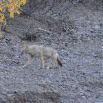 Ein Koyote