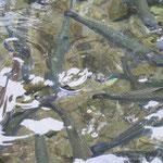 Bio-Forellenzucht am Blausee