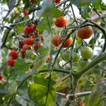 山中さんのミニトマト