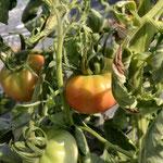 2012年の夏野菜(トマト)素晴らしいデキを予感させてくれます。