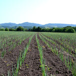 タマネギ畑