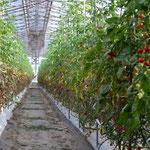 ミニトマトたち / 新井さんと同じ規模で育ててらっしゃいます